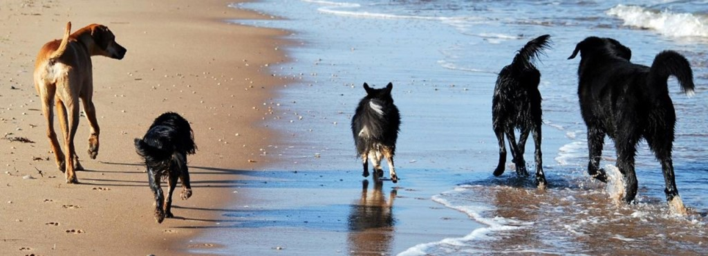Hundar vid Vejbystrand